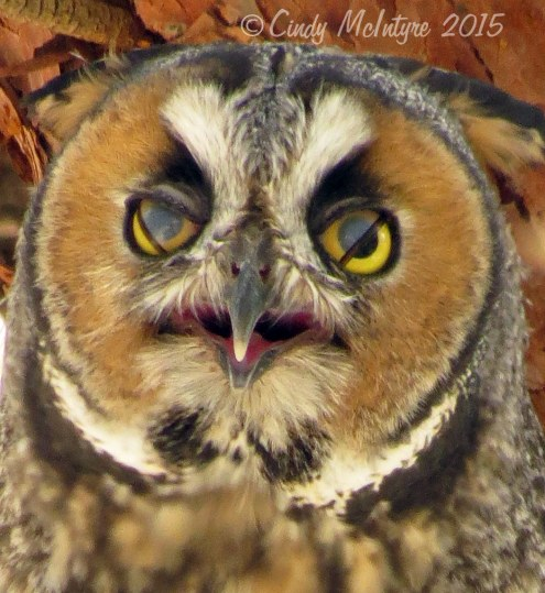 Long-eared owl blinking