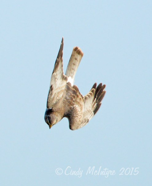 Male Harrier in a dive