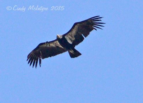 California condor, Pinnacles National Monument