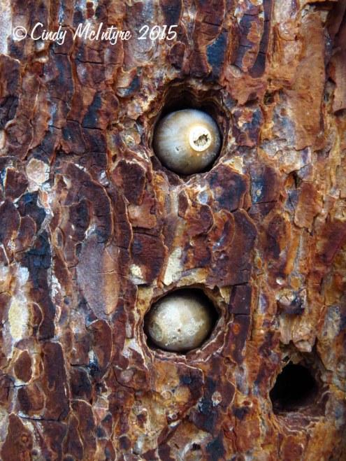 Acorns in granary tree