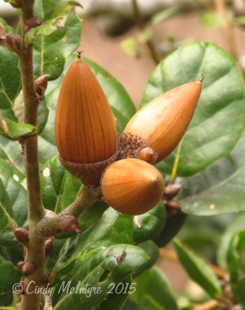 Coastal live oak acorns