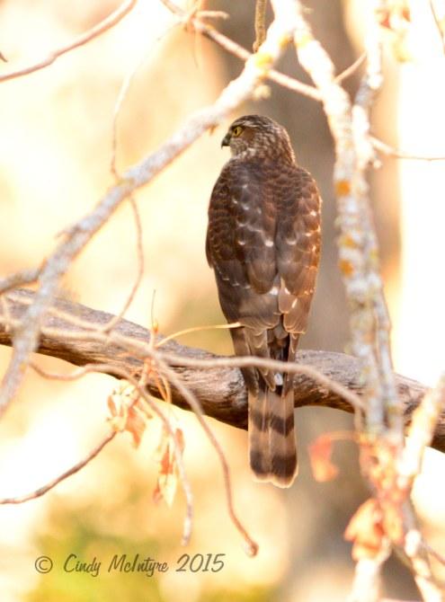 Cooper's or sharp-shinned hawk
