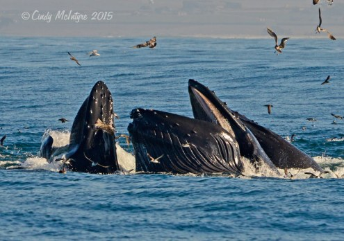 Whales surfacing to gulp several gallons of little fishes
