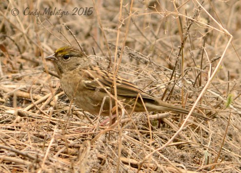 Golden-crowned sparrow first winter