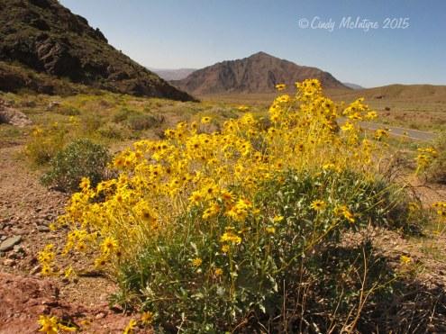 Death-Valley-brittlebush-(6)-copy