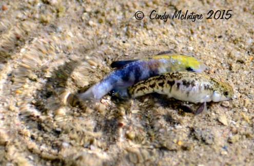 Desert-pupfish-spawning,-Salt-Creek,-Death-Valley-NP-CA-(13)-copy