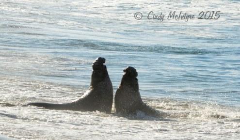 Elephant-Seal-bull,-San-Simeon-CA-rookery-(100)-copy