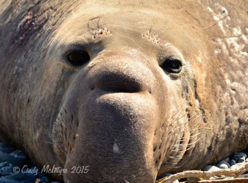 Elephant-Seal-bull,-San-Simeon-CA-rookery-(17)-copy