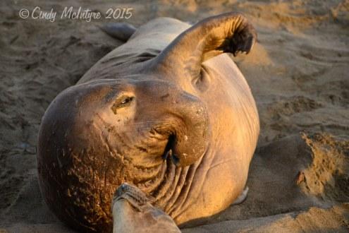 Elephant-Seal-bull,-San-Simeon-CA-rookery-(90)-copy