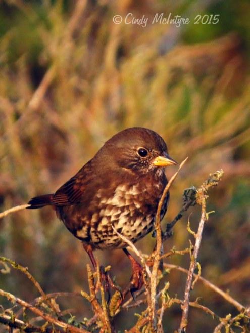 Fox Sparrow, Pacific Grove