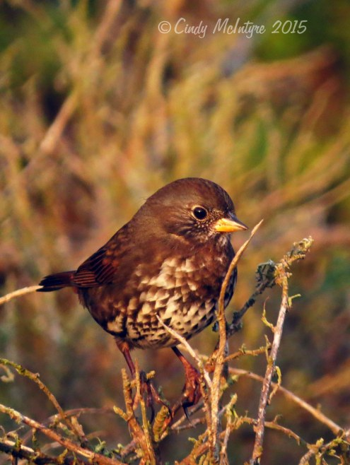 Fox Sparrow, Pacific Grove