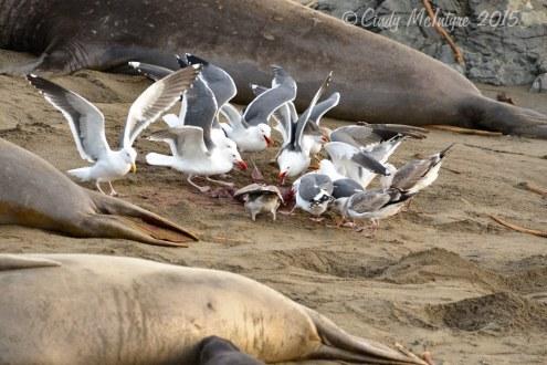 Gulls eating placenta