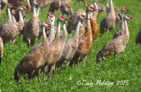 Sandhill cranes, Pixley NWR