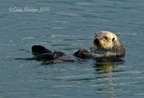 Sea-Otters,-Moss-Landing,-CA-(12)-copy