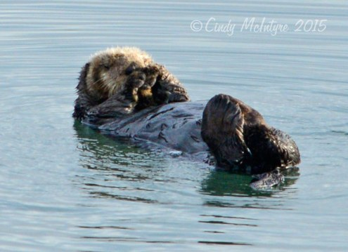 Sea-Otters,-Moss-Landing,-CA-(20)-copy
