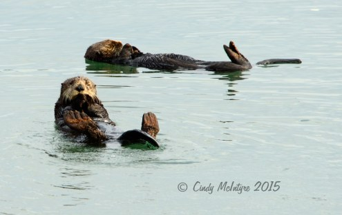 Sea-Otters,-Moss-Landing,-CA-(29)-copy