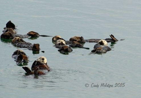 Sea-Otters,-Moss-Landing,-CA-(31)-copy