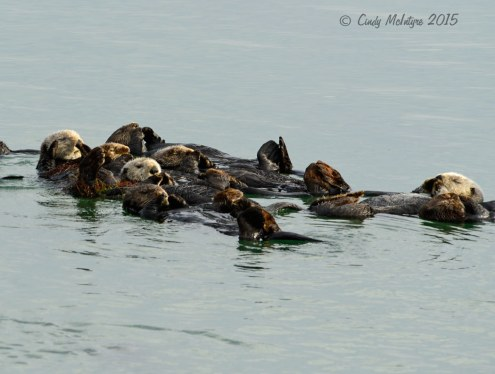 Sea-Otters,-Moss-Landing,-CA-(35)-copy