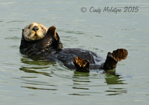 Sea-Otters,-Moss-Landing,-CA-(37)-copy-2