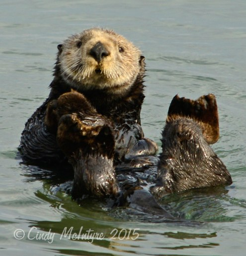 Sea otter grooming, Moss Landing, California