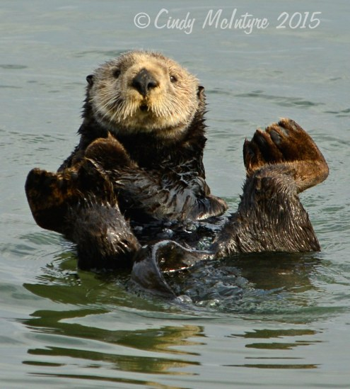 Sea-Otters,-Moss-Landing,-CA-(40)-copy-2