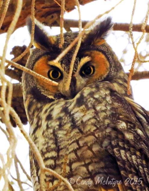 Long-eared-owl,-Ridgecrest-CA-(2)-copy