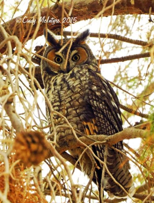 Long-eared-owl,-Ridgecrest-CA-(3)-copy-2
