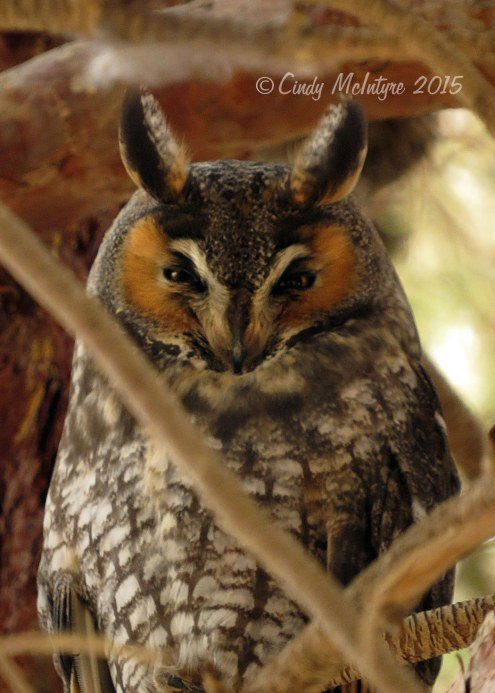 Long-eared-owl,-Ridgecrest-CA-(7)-copy