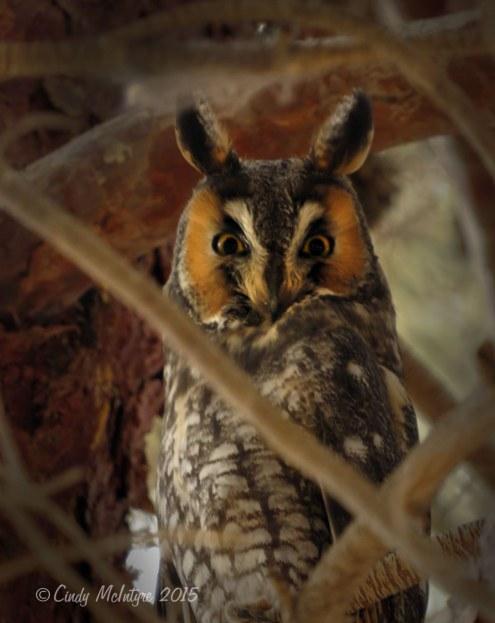 Long-eared-owl,-Ridgecrest-CA-(8)-copy