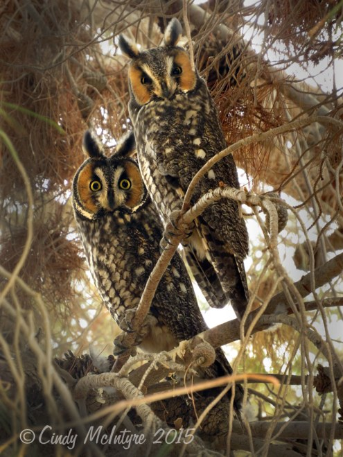 Long-eared-owls,-Ridgecrest-CA-(2)-copy-2