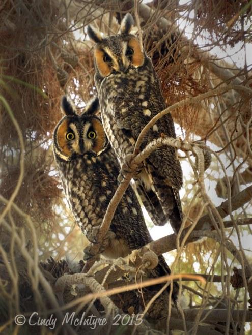Long-eared-owls,-Ridgecrest-CA-(2)-copy-2