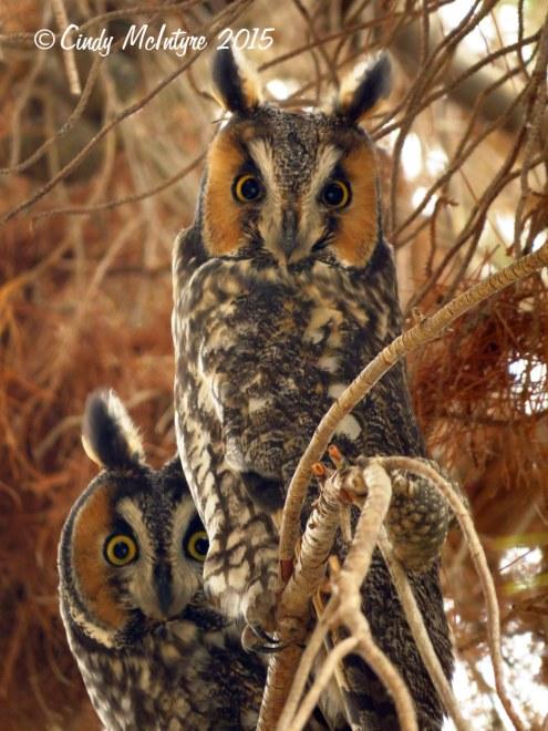 Long-eared owls
