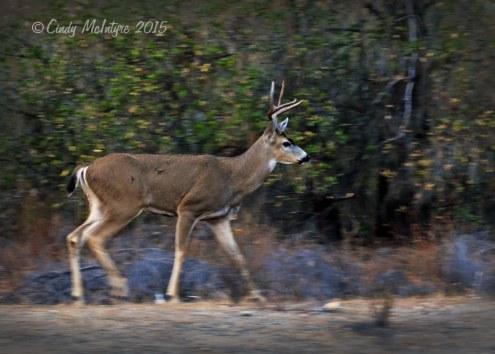 Mule-deer-buck-blur,-CA-(1)-copy