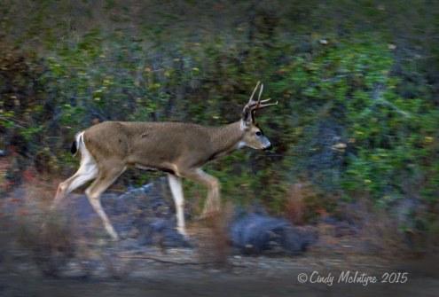 Mule-deer-buck-blur,-CA-(2)-copy