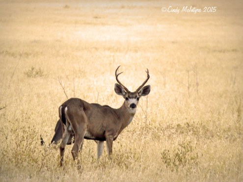 Mule-deer-near-Pinnacles-NP-CA-(3)-copy
