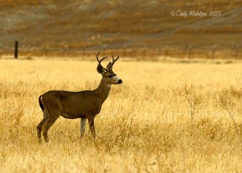 Mule-deer-outside-Pinnacles-NP-CA-east-entrance-(1)