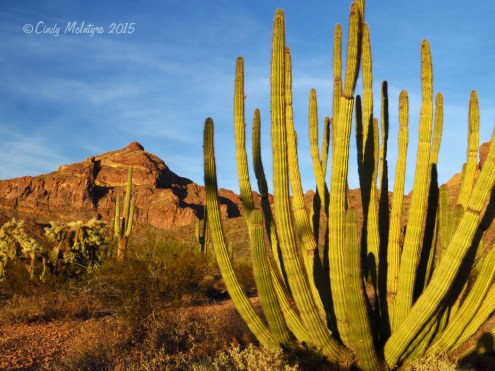Organ Pipe cactus, Organ Pipe National Monument, Arizona