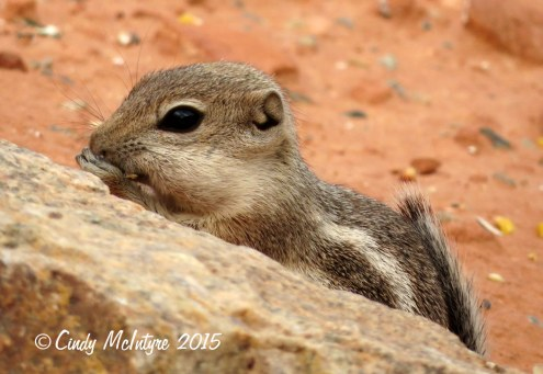 Antelope-squirrel,-Valley-of-Fire-SP-NV-(4)-copy