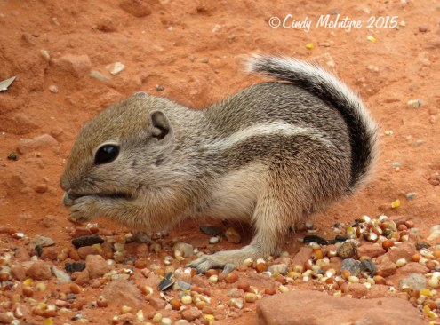 Antelope-squirrel,-Valley-of-Fire-SP-NV-(7)-copy