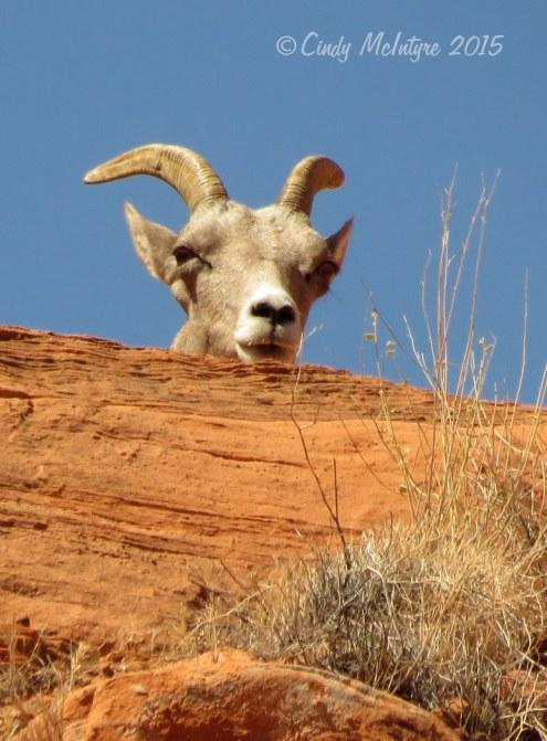 Bighorn sheep ewe