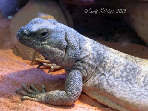 Chuckwalla,-Valley-of-Fire-SP-NV-copy