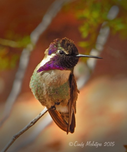 Costa's hummingbird male