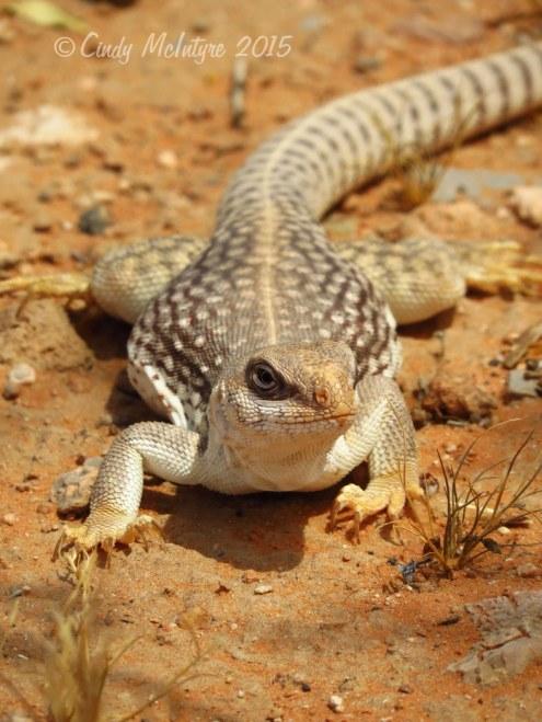 Desert iguana
