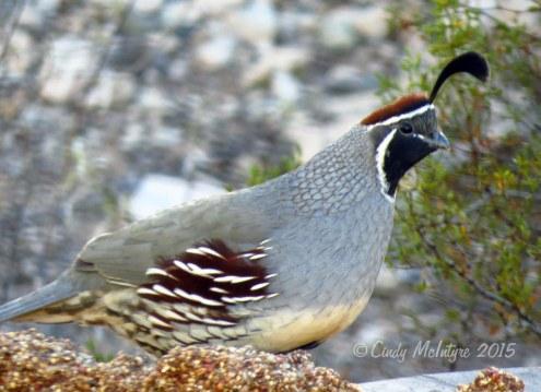 Gambel's quail male