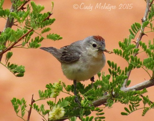 Lucy's-Warbler-male,-Valley-of-Fire-NV-(11)-copy