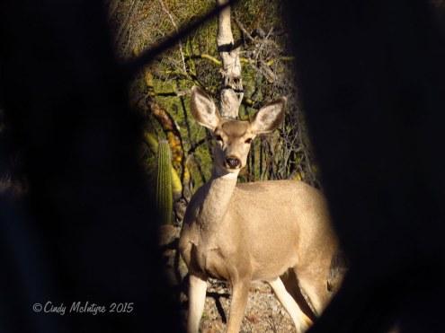 Mule deer doe in saguaro forest