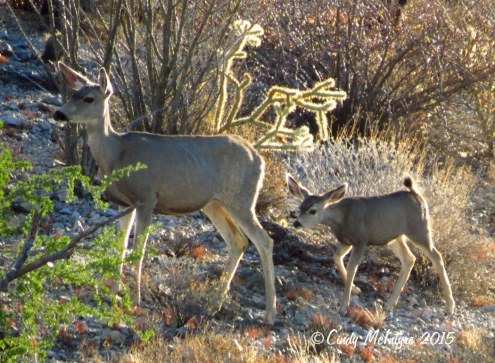 Mule-deer,-Ajo-AZ-(9)-copy