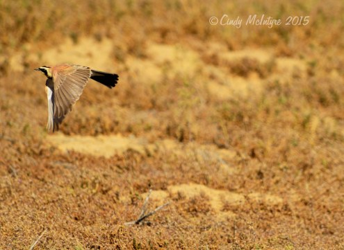 Horned lark in flight
