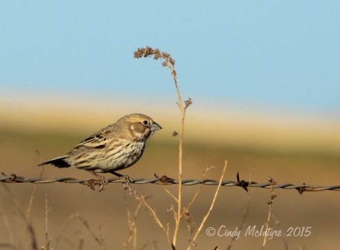 Lark bunting, winter plumage