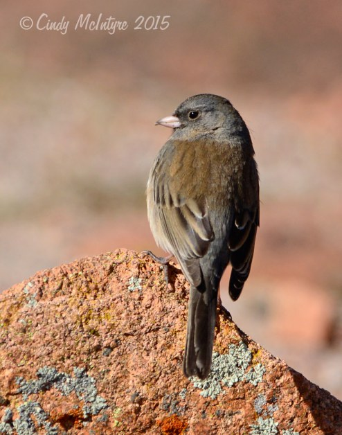 Gray-headed junco